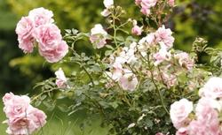 Róże - królowe ogrodów. Sprawdź, czego nie lubią róże