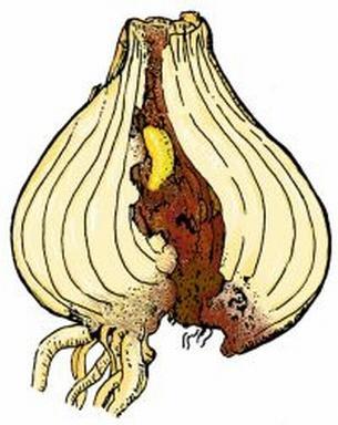 Co zagraża roślinom cebulowym?