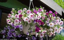 Najpiękniejsze kwiaty doniczkowe na taras i balkon - fuksja, begonia, pelargonia