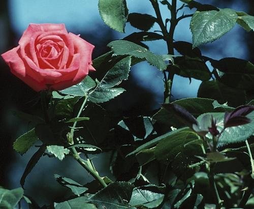 Ogród w barwach róż